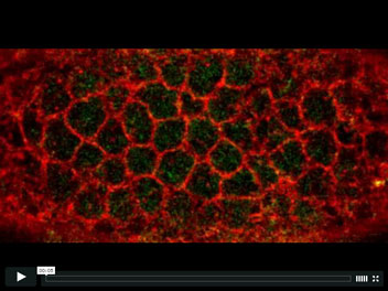 Video Credit: Martin, A. C., Kaschube, M. & Wieschaus, E. F.